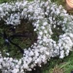 Corona de flores gypsophila para damas de honor | La Florería